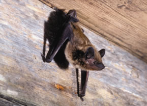 Evening_Bat_Nycticeius_humeralis