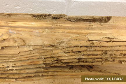 Subterranean termite feeding damage along the grain of the wood