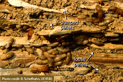 Evidence of dampwood termites