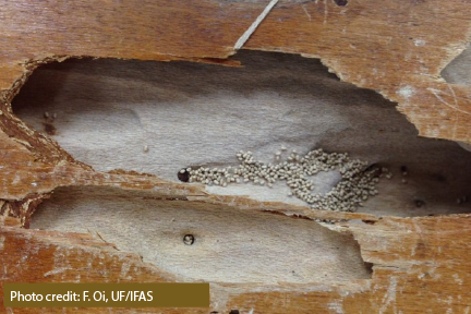Drywood termite galleries are smooth, going across the grain of the wood