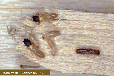 Example of live drywood termites