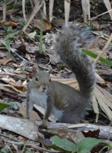 What To Do If You Have A Squirrel In Your Attic Pests In The Home