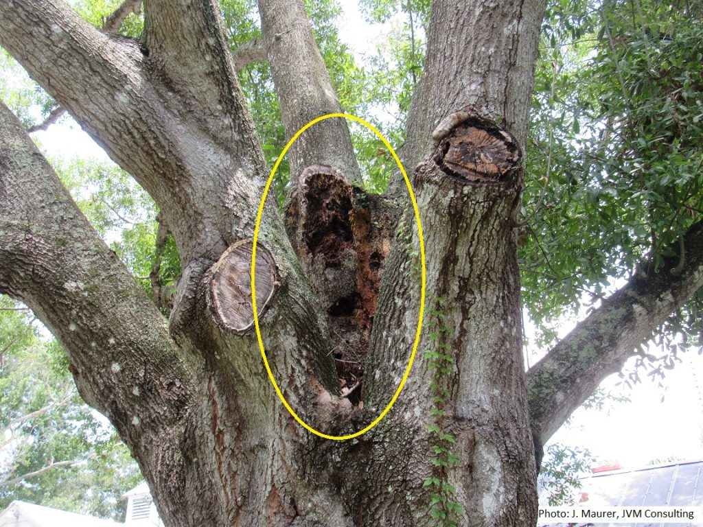 Tree damaged by Formosan subterranean termites