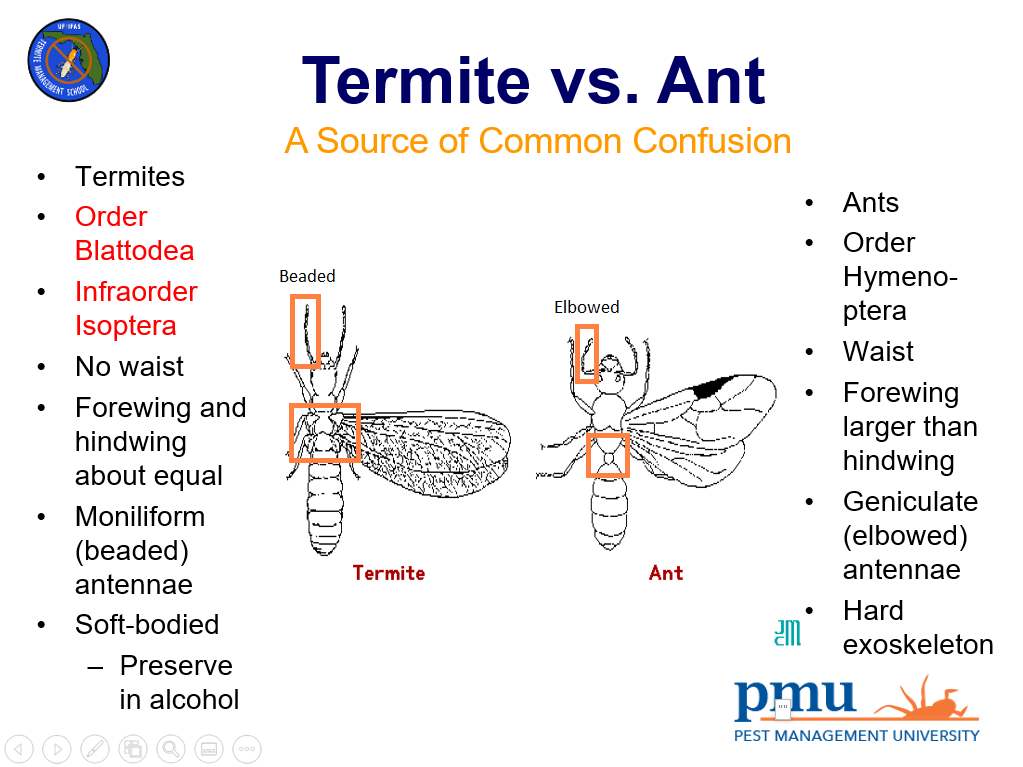 characteristics that separate swarming termites from swarming ants. Most people can see the waist on an ant